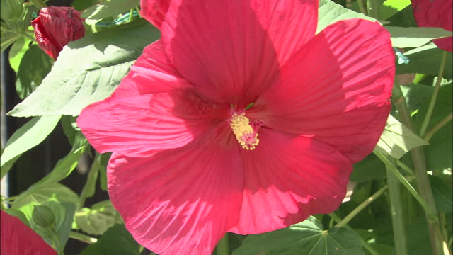 red flower   up - eibisch tropische blume stock-videos und b-roll-filmmaterial