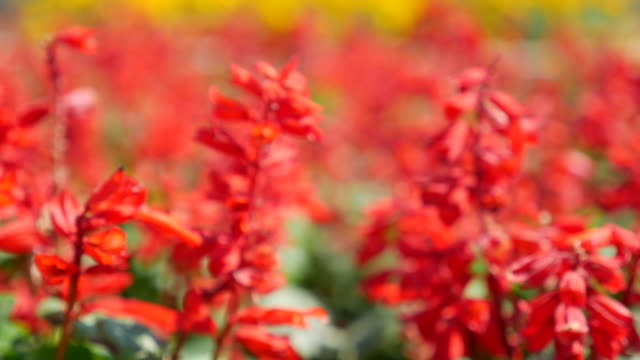 Red Flower,Dolly shot