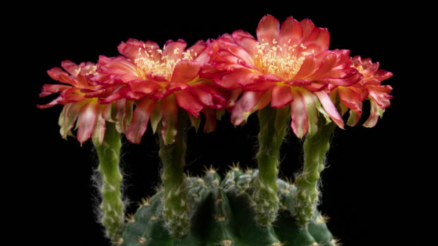 red flowers lobivia time-lapse - flowering cactus stock videos & royalty-free footage
