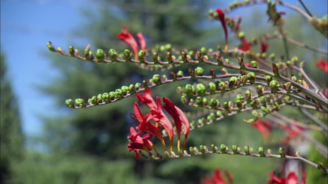 cu red flowers of crocosmia var. lucifer (montbretia) / portland, oregon, usa - var bildbanksvideor och videomaterial från bakom kulisserna