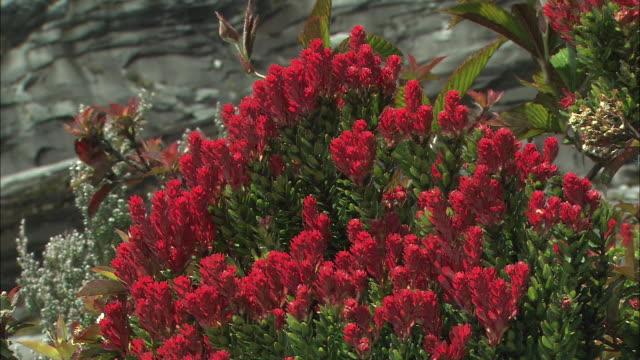 red flowers of vaccinium stapfianum var. minus sleume in malaysia  - var bildbanksvideor och videomaterial från bakom kulisserna