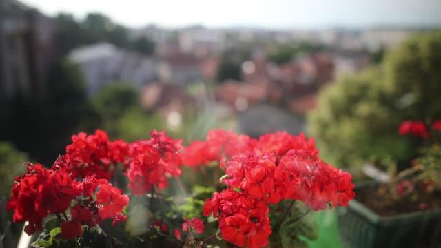 バルコニーに赤い花 - ゼラニウム点の映像素材/bロール