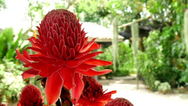 Rote Blumen Torch Ginger ultra hd.
