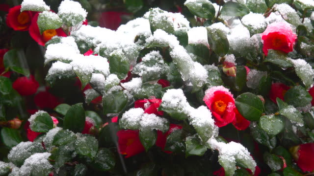 Red flowers under the snow in snowfall