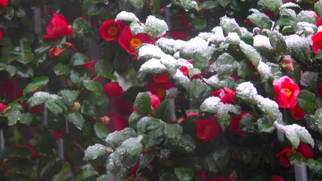 降雪中の雪の下の赤い花 - protection点の映像素材/bロール