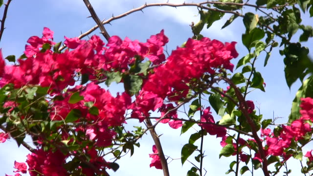 red flowers vine - thorn stock videos & royalty-free footage