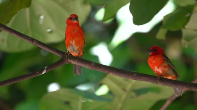 Red Fody (Foudia madagascariensis) Seychelles