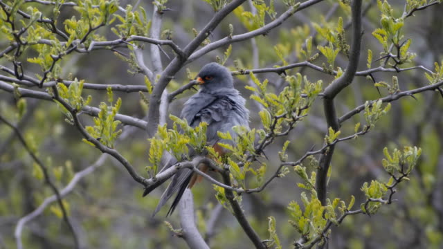 red footed falcon [falco vespertinus] ,male perching on tree - bird hunting stock videos & royalty-free footage