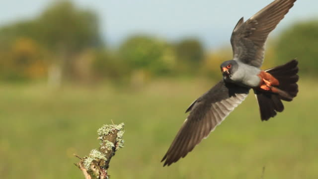 Red footed falcon landing