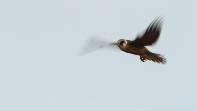 Red Footed Falcon  (Falco vespertinus) young in Flight ?