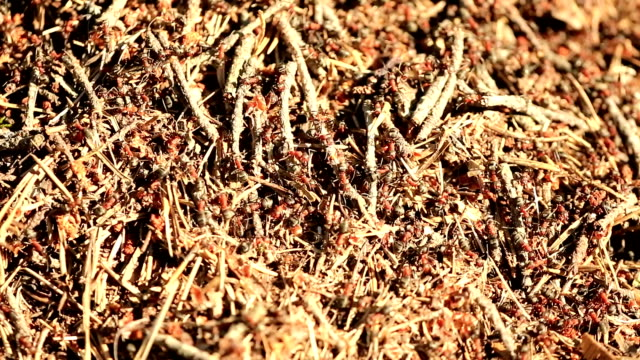 Red Forest/Wood Ameisen