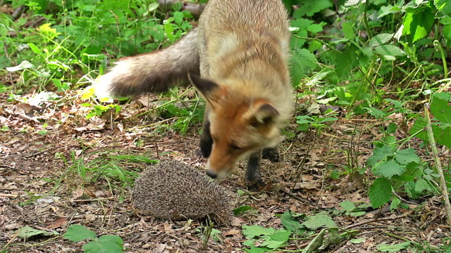 ms red fox (vulpes vulpes) and european hedgehog / calvados, normandy, france - calvados stock-videos und b-roll-filmmaterial