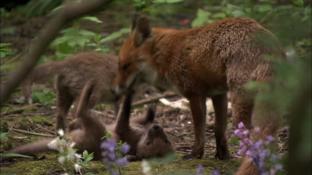 Red fox (Vulpes vulpes) and pups groom and play in garden, Glasgow, Scotland