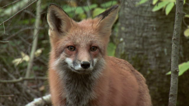 cu red fox (vulpes vulpes) at algonquin park woods / dwight, ontario, canada - fox stock videos and b-roll footage