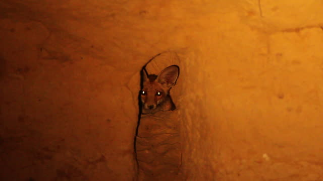 red fox (vulpes vulpes) at night in its den - 10 seconds or greater stock videos & royalty-free footage