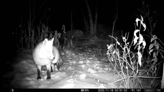 red fox caught on trail camera at niight - video stock videos & royalty-free footage