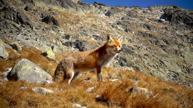 red fox close up on the mountain at winter 4k - fox stock videos and b-roll footage