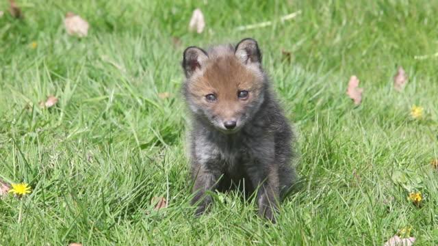 vidéos et rushes de ms red fox cub in meadow / vieux pont en auge, normandy, france - normandie