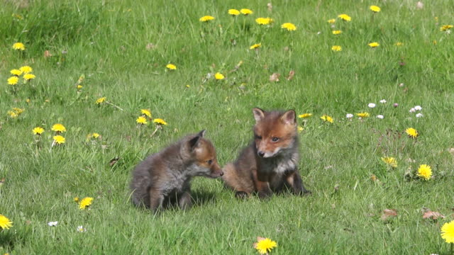 ms red fox cub  in meadow / vieux pont en auge, normandy, france - grass stock videos & royalty-free footage
