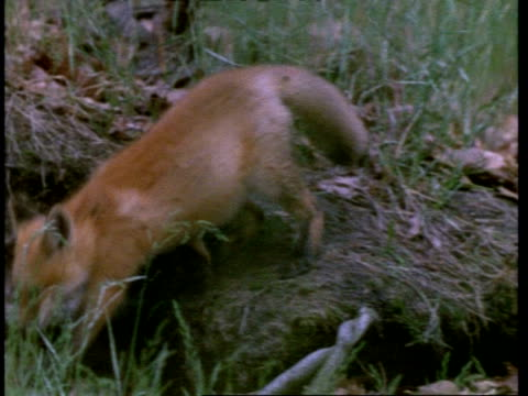 red fox cub sitting on bank, walks left to join two others, united states of america - carnivora stock videos and b-roll footage