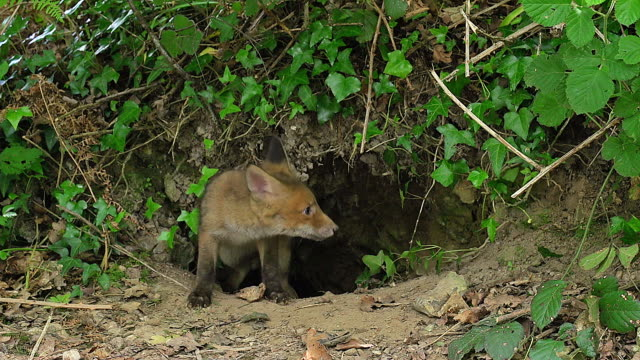 MS Red Fox (vulpes vulpes) Cubs standing at Den entrance / Calvados, Normandy, France