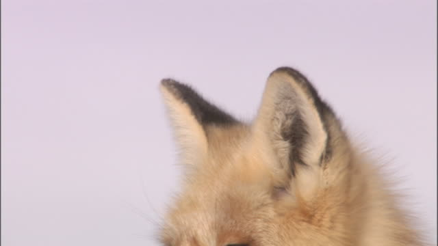 vídeos y material grabado en eventos de stock de red fox (vulpes vulpes) ears as it sits on snow, yellowstone, usa - oreja