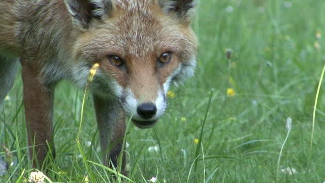 red fox essen - surrey england stock-videos und b-roll-filmmaterial