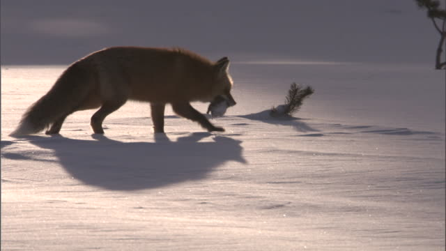 Red fox (Vulpes vulpes) eats rodent prey in snow, Yellowstone, USA