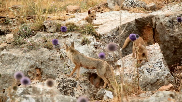 red fox family in the upper galilee, israel - young animal stock videos & royalty-free footage
