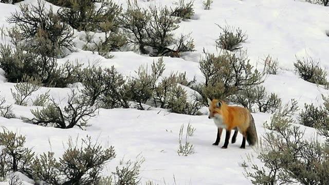 red fox hunting in sagebrush, yellowstone national park, winter - セージブラッシュ点の映像素材/bロール