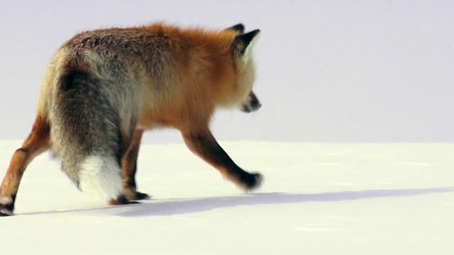red fox hunting in yellowstone national park, winter, close up - fox stock videos and b-roll footage