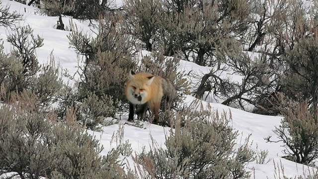 red fox hunts and catches a vole, yellowstone national park, winter - つかまえる点の映像素材/bロール