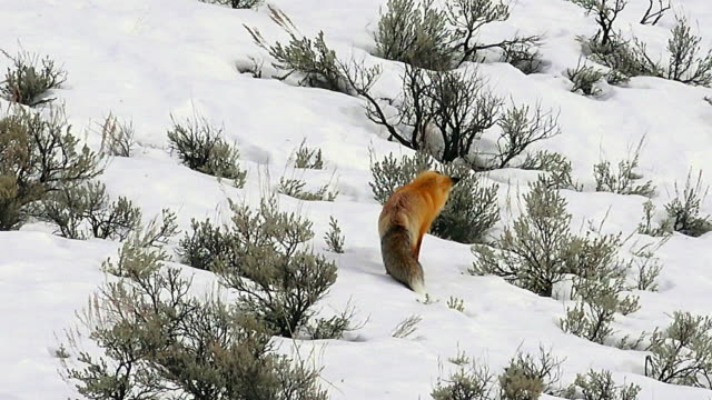 Red Fox hunts and misses in sagebrush in Yellowstone National Park, winter