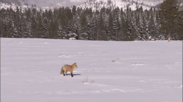 red fox (vulpes vulpes) hunts for rodents in snow, yellowstone, usa - yellowstone national park stock videos & royalty-free footage