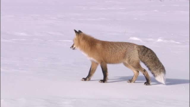 vídeos de stock, filmes e b-roll de red fox (vulpes vulpes) hunts for rodents in snow, yellowstone, usa - espreitando