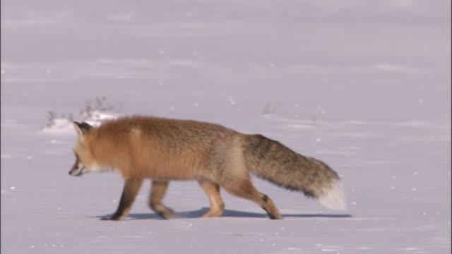 vídeos y material grabado en eventos de stock de red fox (vulpes vulpes) hunts for rodents in snow, yellowstone, usa - animales acechando