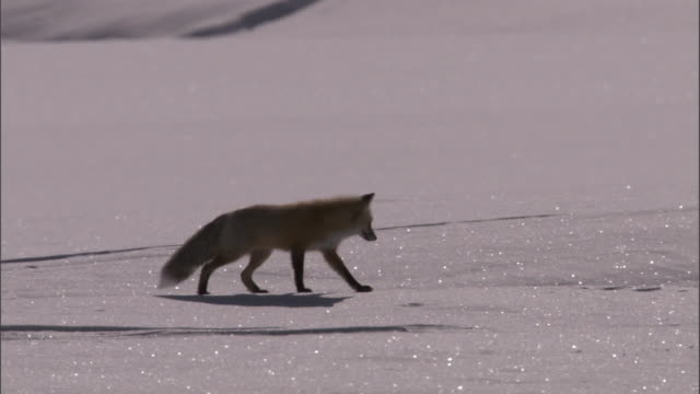 red fox (vulpes vulpes) hunts for rodents on snow, yellowstone, usa - survival stock videos & royalty-free footage