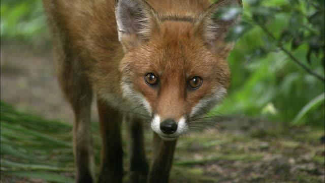 red fox (vulpes vulpes) in garden, glasgow, scotland - fox stock videos and b-roll footage