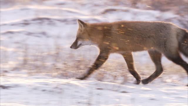 Red fox in snow, Churchill, Manitoba, Canada
