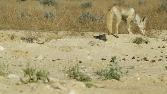 red fox (vulpes vulpes), israel - negev stock videos & royalty-free footage