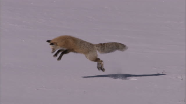 red fox (vulpes vulpes) leaps into snow hunting rodents, yellowstone, usa - survival stock videos & royalty-free footage