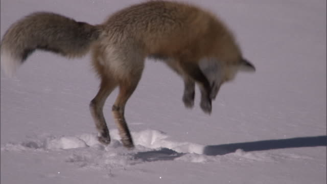 red fox (vulpes vulpes) leaps into snow hunting rodents, yellowstone, usa - fox stock videos and b-roll footage