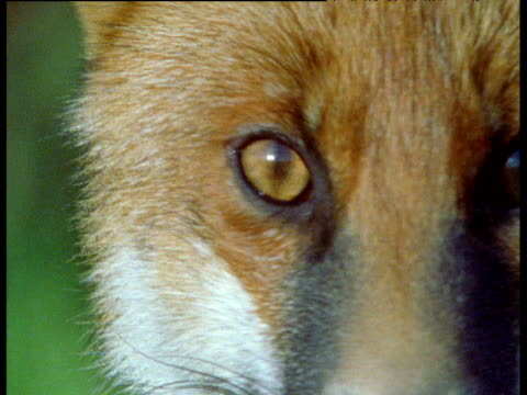 red fox looks straight at camera, uk - blinking stock videos & royalty-free footage
