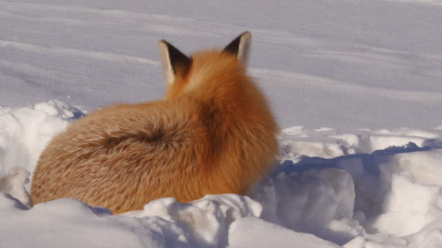 red fox lying on snow during sunny day, wild animal relaxing in sunlight during winter - jackson, wyoming - fell stock-videos und b-roll-filmmaterial