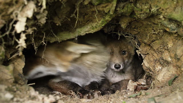 CU Red Fox (vulpes vulpes) mother and cub standing at Den entrance / Calvados, Normandy, France