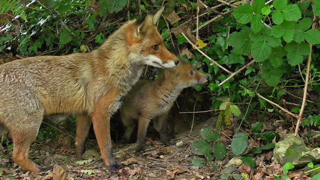 ms red fox (vulpes vulpes) mother and cub standing at den entrance / calvados, normandy, france - calvados stock videos and b-roll footage