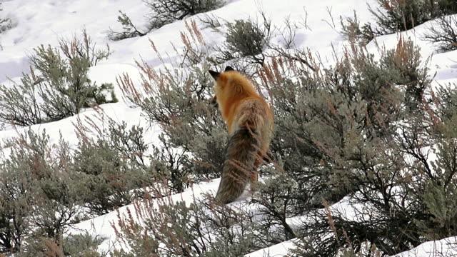 red fox moving uphill, hunting in sagebrush, in yellowstone national park, winter - セージブラッシュ点の映像素材/bロール