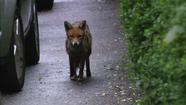 red fox (vulpes vulpes) on city street, glasgow, scotland - wildtier stock-videos und b-roll-filmmaterial