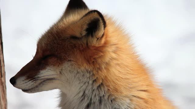 MS Red Fox (Kitakitsune) on snow / Kitami, Japan
