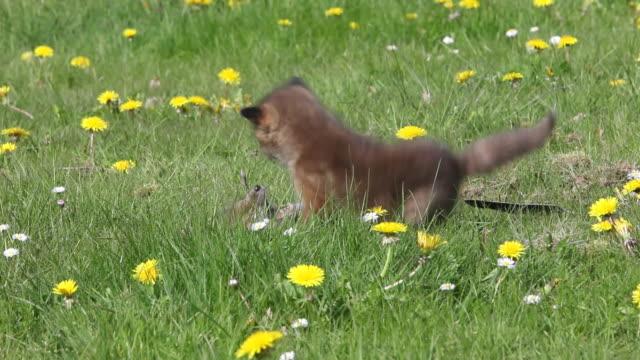 vidéos et rushes de ms red fox playing in meadow / vieux pont en auge, normandy, france - normandie